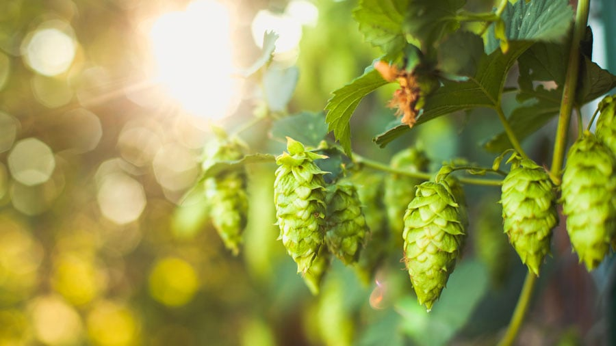 closeup picture of hops growing on a hop plant
