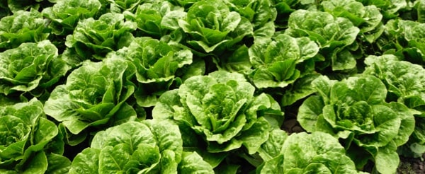 Romaine lettuce plantation field