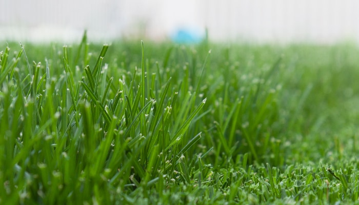 A closeup of neatly-mowed green grass