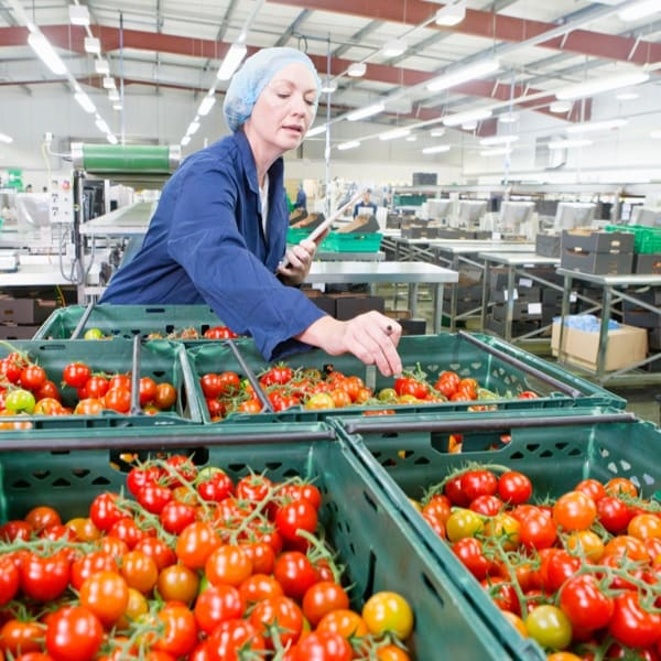 Quality control worker inspecting vine-ripened tomatoes in bins in food processing plant