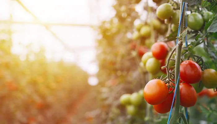 Tomatoes growing on vines within a greenhouse