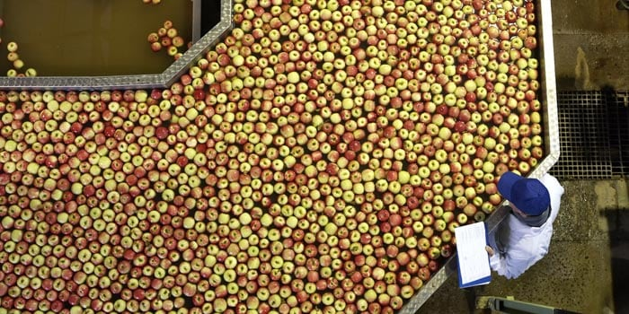 ripe apples on the sorting line
