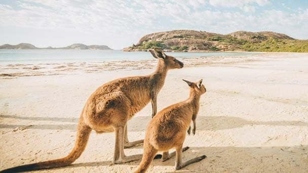 Two kangaroos on sandy beach