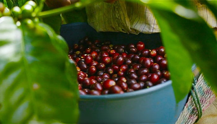 Coffee beans being harvested