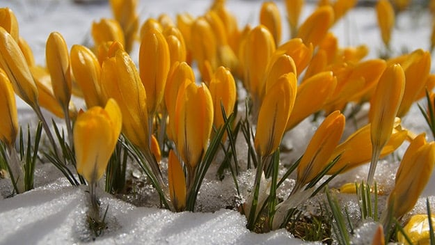 Flowers blooming out of snow