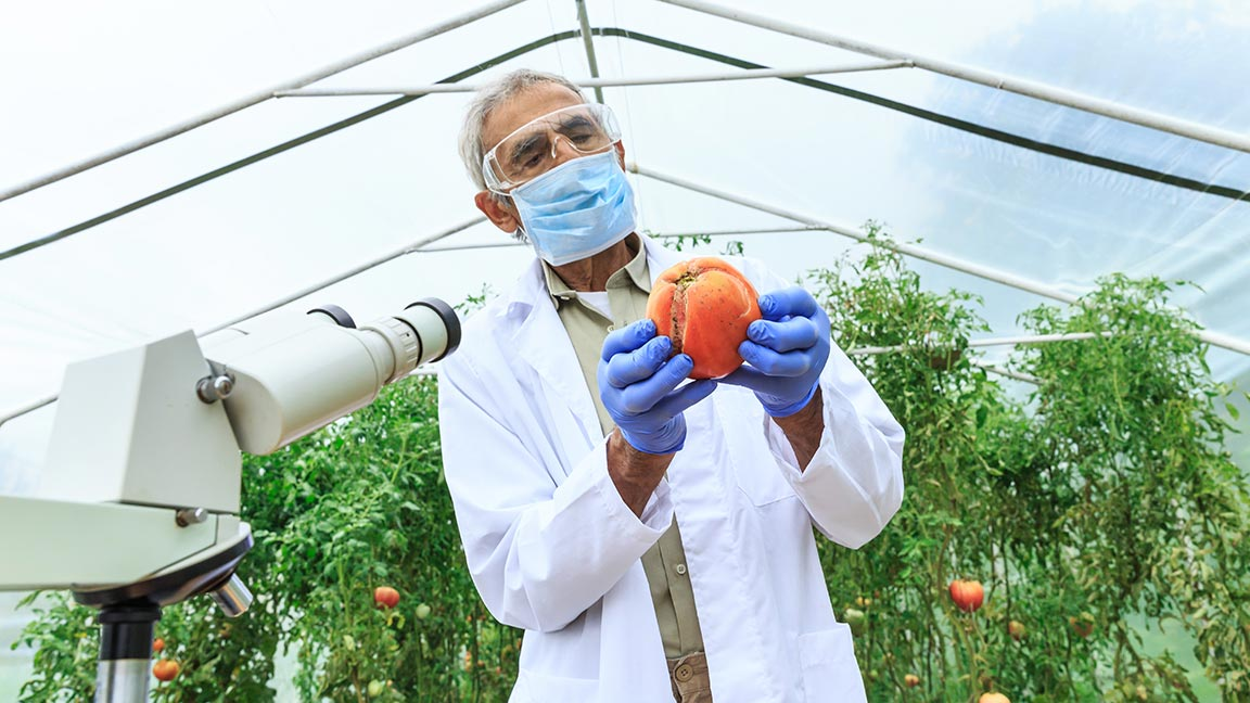 Man in lab coat examining a tomato in a greenhouse