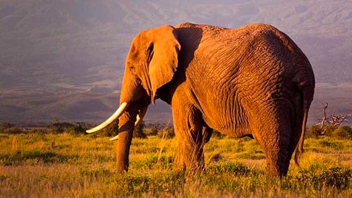 An elephant in the grasslands