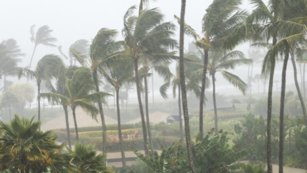 Palm trees during a hurricaine