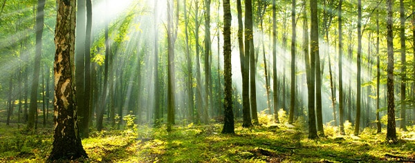 A green forest with sunlight shining through